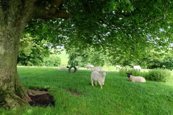 Sheep in Chillington Field