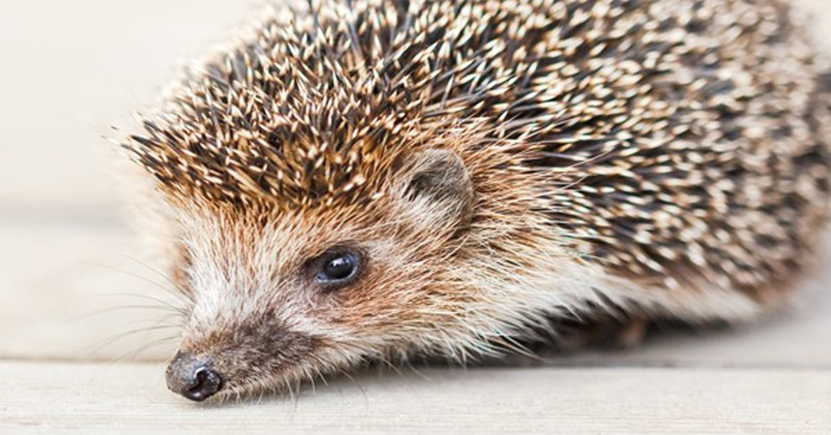 Hedgehog in Kingsbridge Garden