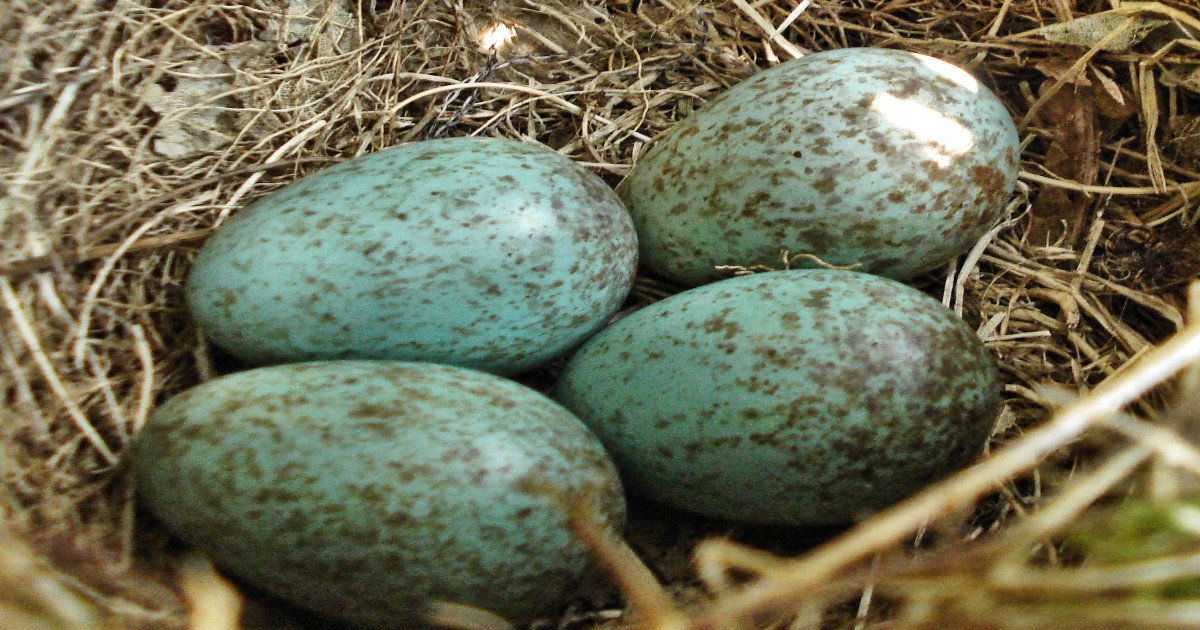 Police focus on egg thefts in Operation Easter