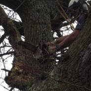 Fully qualified climbing arborist