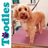 Toodles Dog Grooming - Dartmouth