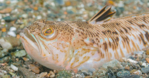 Warning about Weever fish as the masses head to the beaches