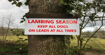 Dog owners urged to keep pets on leads as another sheep is attacked