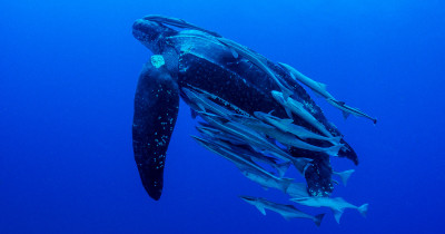 Stunning video of a leatherback turtle captured off the South Hams coast